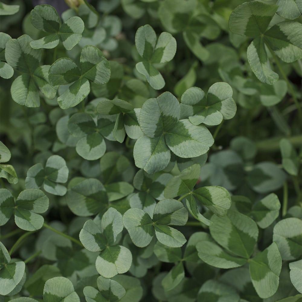 Lamoapila Trifolium repens