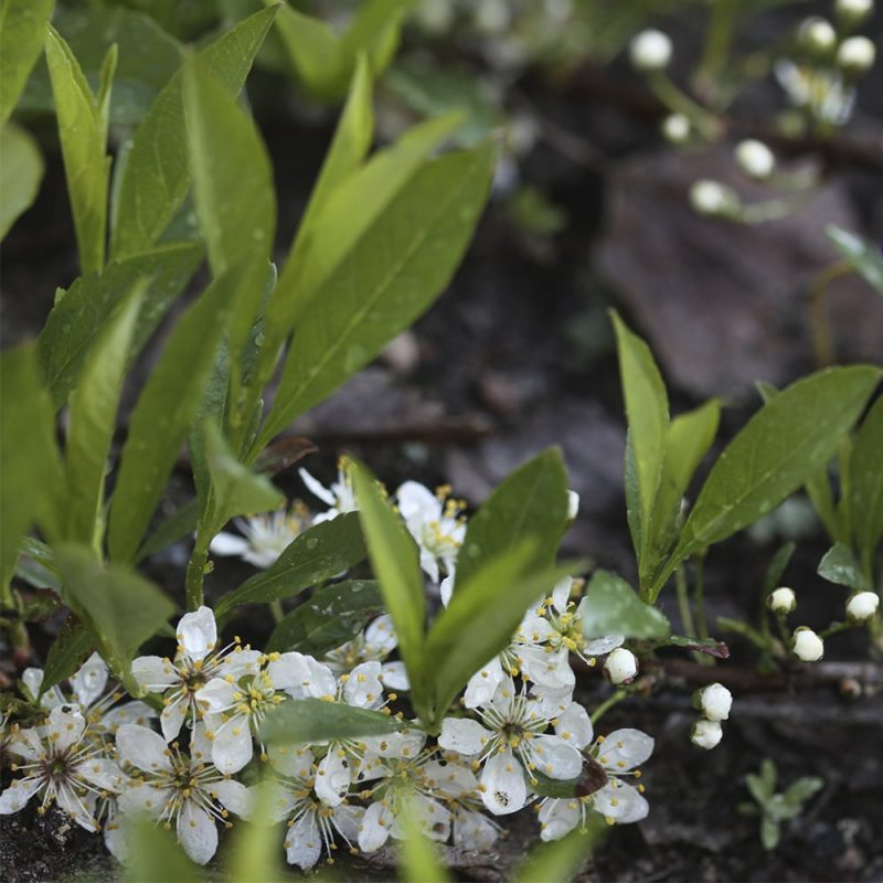 Lamohietakirsikka Prunus pumila var. depressa
