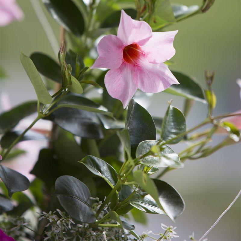 Maljaköynnös Mandevilla, vaaleanpunainen