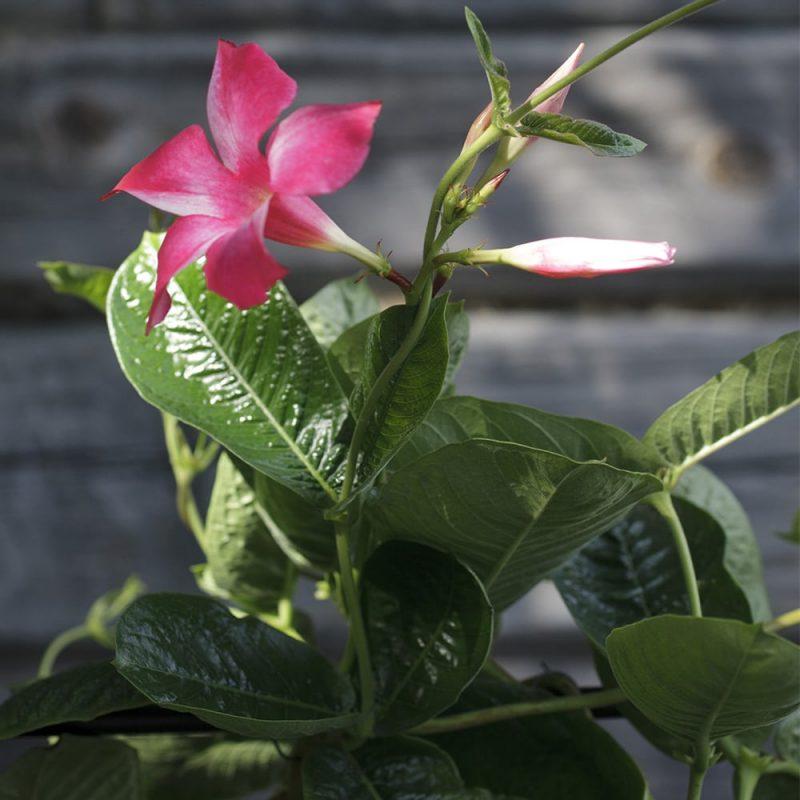 Maljaköynnös Mandevilla, aniliininpunainen