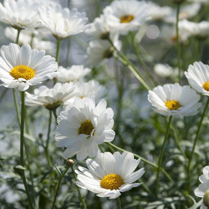Marketan Argyranthemum frutescens valkoinen kukka