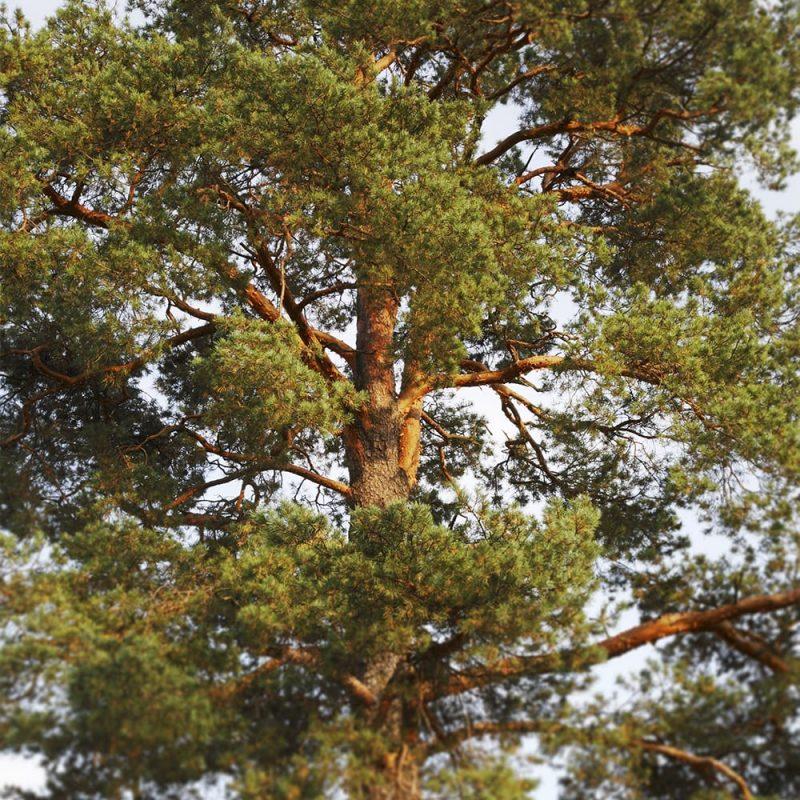 Metsämänty Pinus sylvestris
