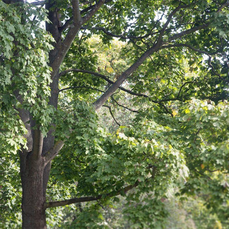 Metsävaahtera Acer platanoides