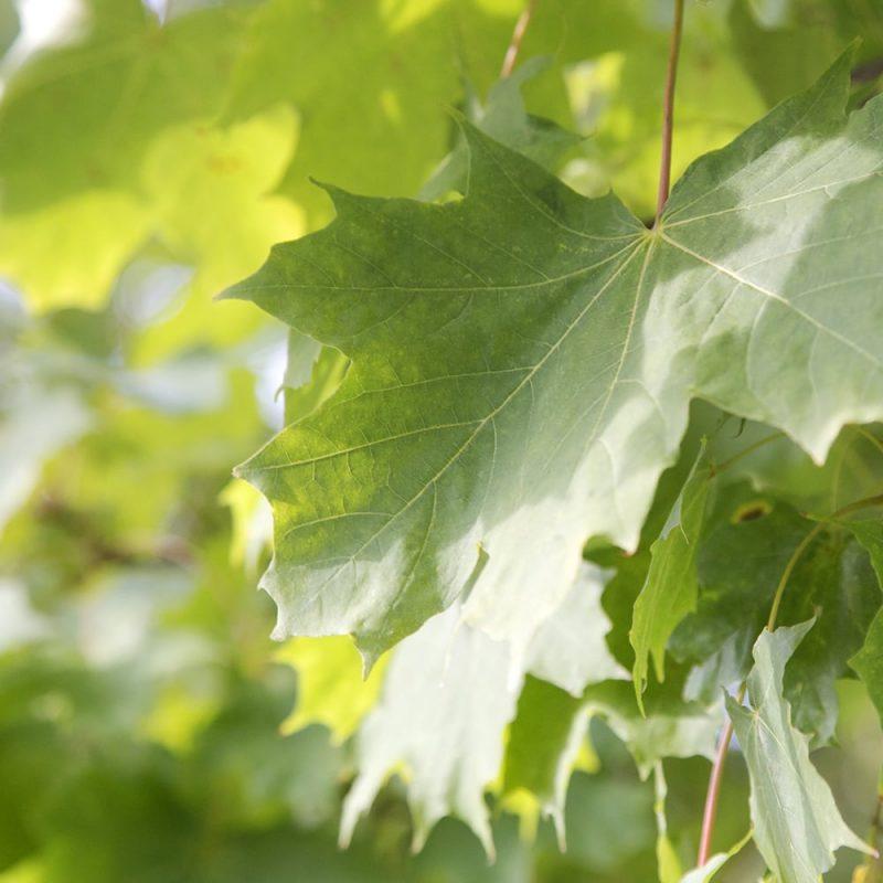 Metsävaahtera Acer platanoides, läheltä