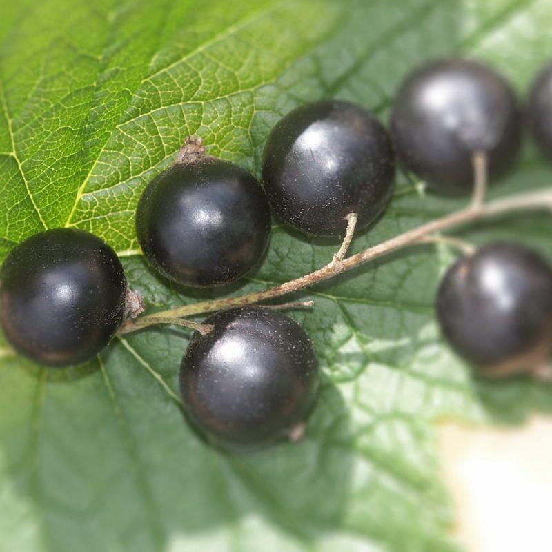 Mustaherukka Ribes nigrum marjat