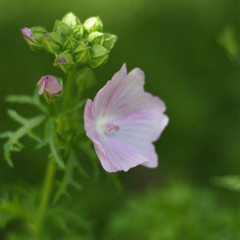 Myskimalva Malva moschata kukka