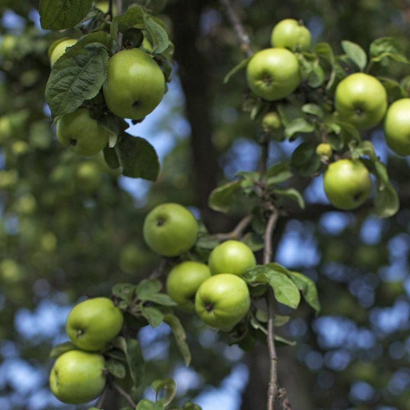 Omenapuu Malus domestica