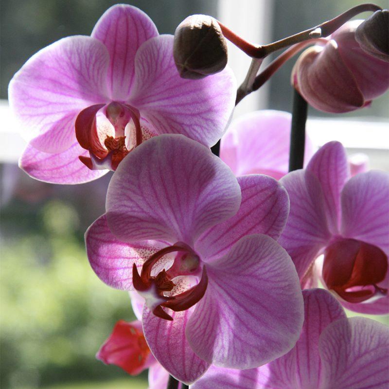 Orkidea Orchidaceae