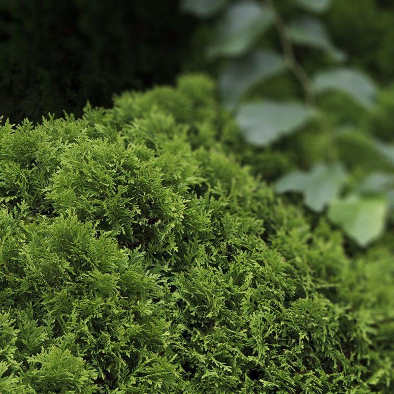 Pallotuija Thuja occidentalis pehmeät neulaset
