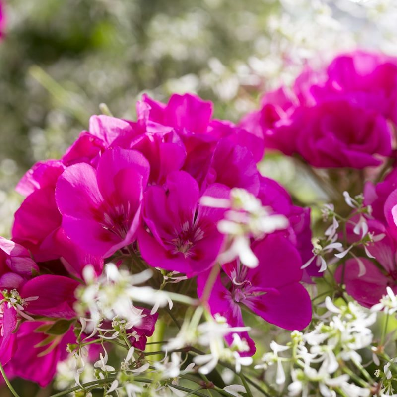 Pelargoni Pelargonium pinkki