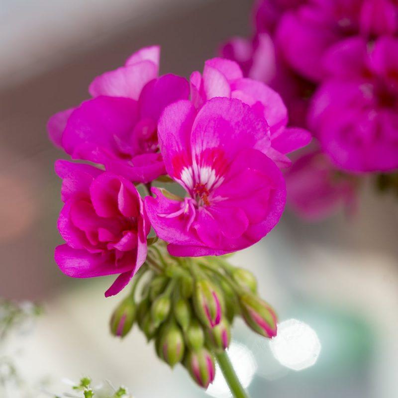 Pelargoni Pelargonium nuppuja