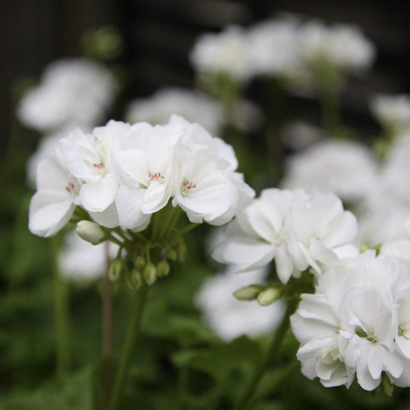 Pelargoni Pelargonium valkoinen