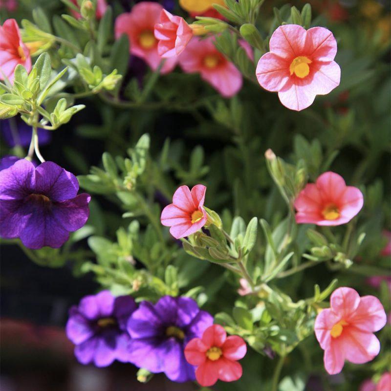 Pikkupetunian Calibrachoa vaaleanpunaiset ja lilat kukat