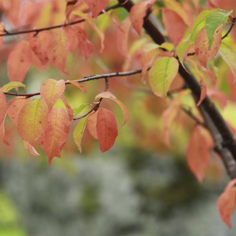 Pilvikirsikka Prunus pensylvanica