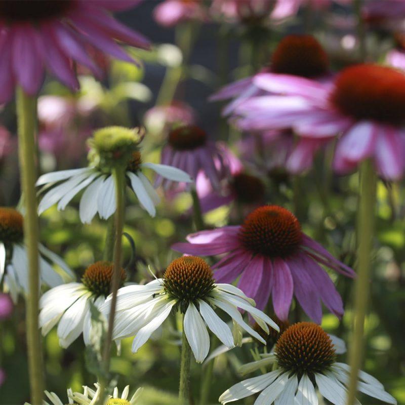 Punahatun Echinacea purpurea lilanpunaiset ja valkoiset kukat