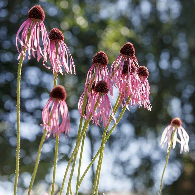 Punahattu Echinacea purpurea