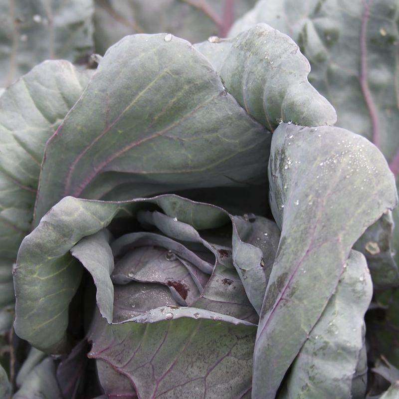 Punakaali Brassica oleracea var. capitata