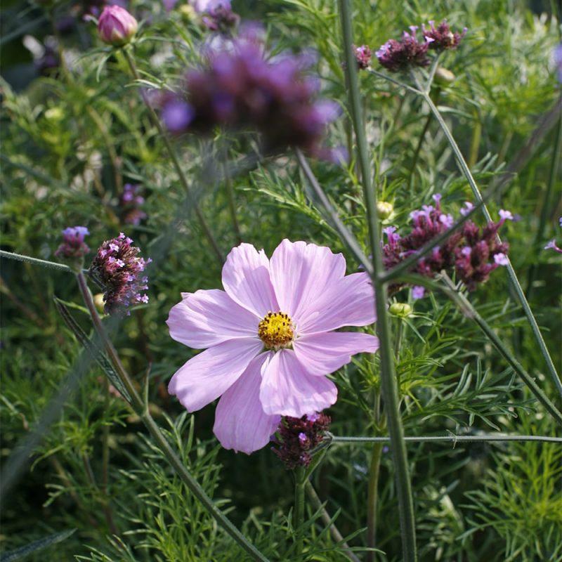 Punakosmoskukan Cosmos bipinnatus vaaleanpunainen kukka
