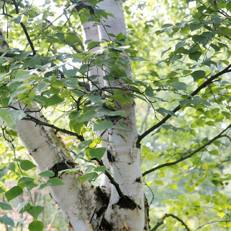 Rauduskoivu Betula pendula