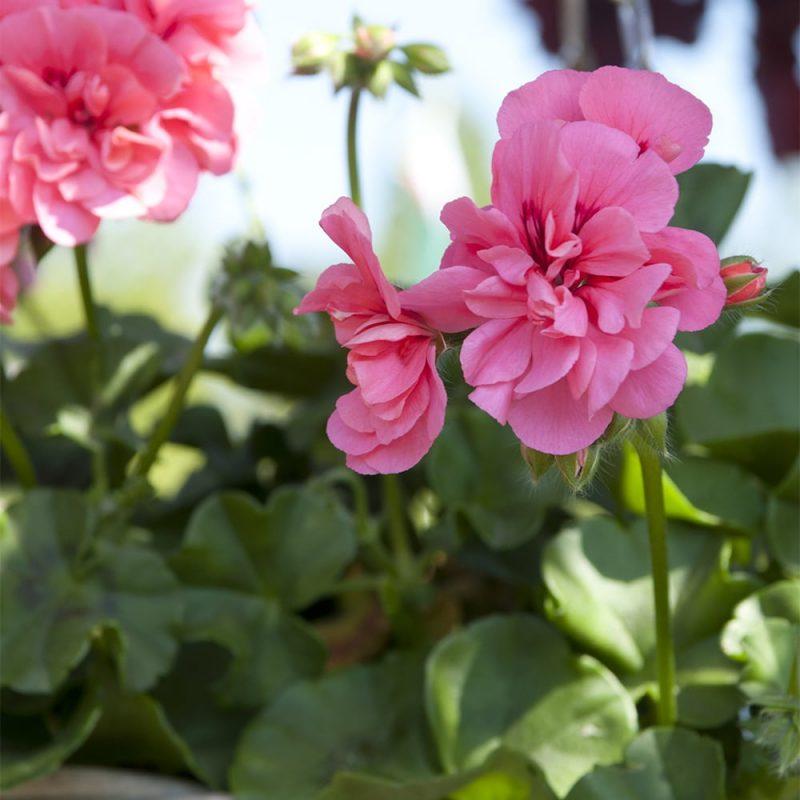 Riippapelargoni Pelargonium peltatum, vaaleanpunainen