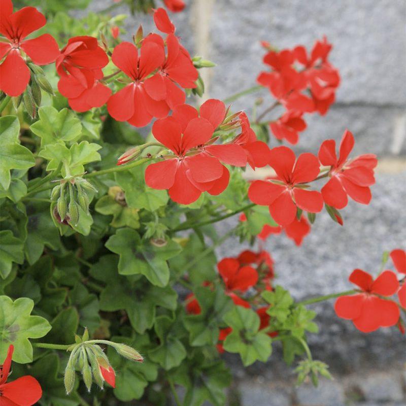 Riippapelargoni Pelargonium peltatum, punainen