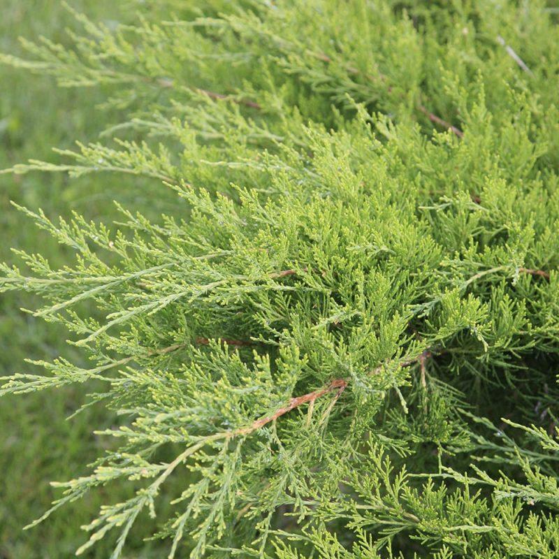 Rohtokatajan Juniperus sabina pehmeät neulaset