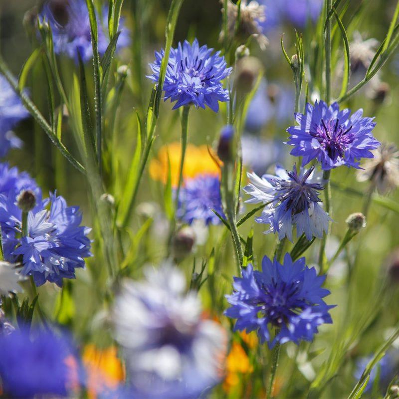 Ruiskaunokin Centaurea cyanus siniset kukat