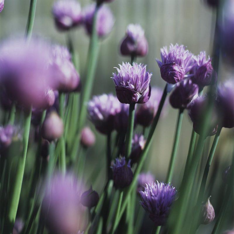 Ruohosipulin Allium schoenoprasum kukka