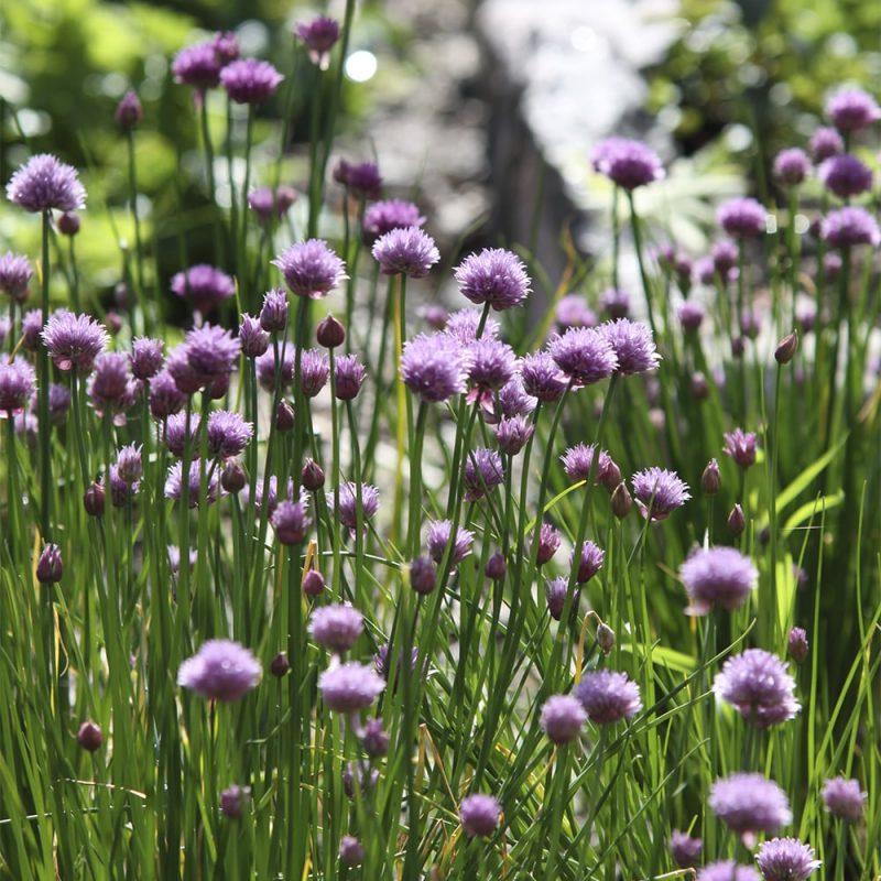 Ruohosipuli Allium schoenoprasum