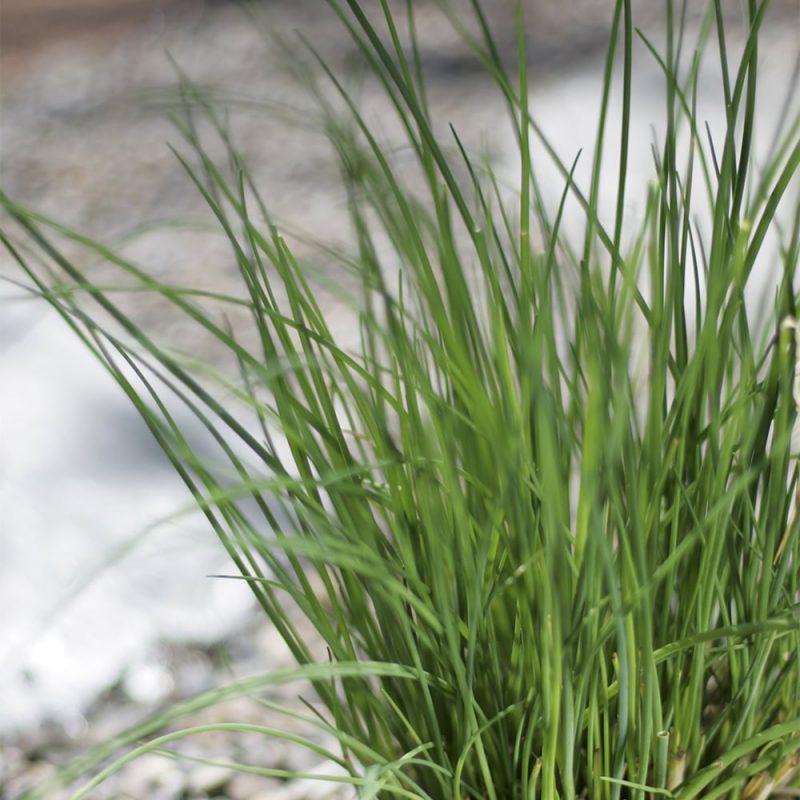 Ruohosipulin Allium schoenoprasum lehtivarret