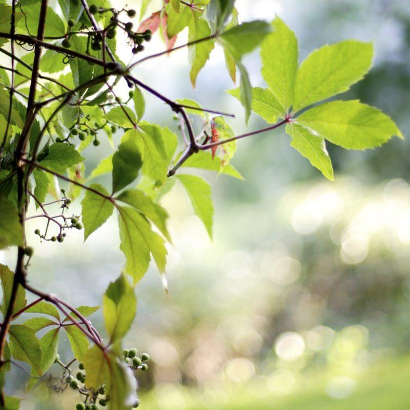 Säleikkövilliviini Parthenocissus inserta