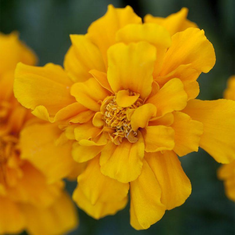 Samettikukka Tagetes sp. kukka