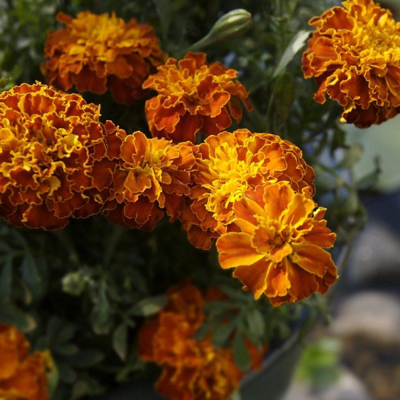 Samettikukka Tagetes sp. oranssi kerrottu