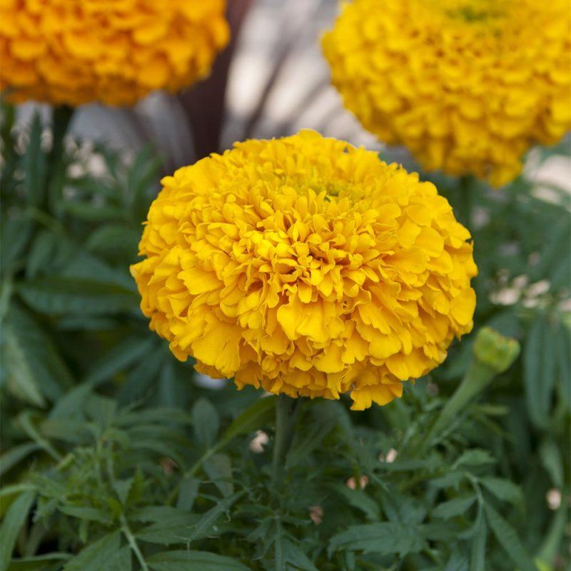 Isosamettikukka Tagetes sp. keltainen