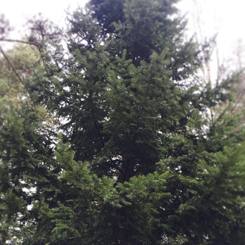 Serbiankuusi Picea omorica