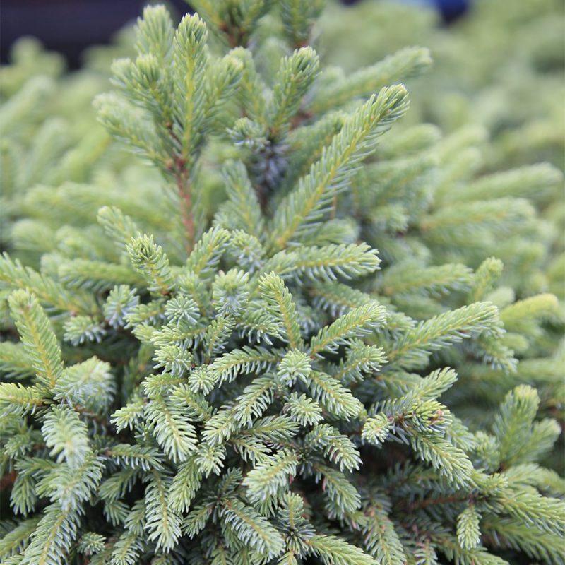 Siilikuusi Picea abies 'Echiniformis'
