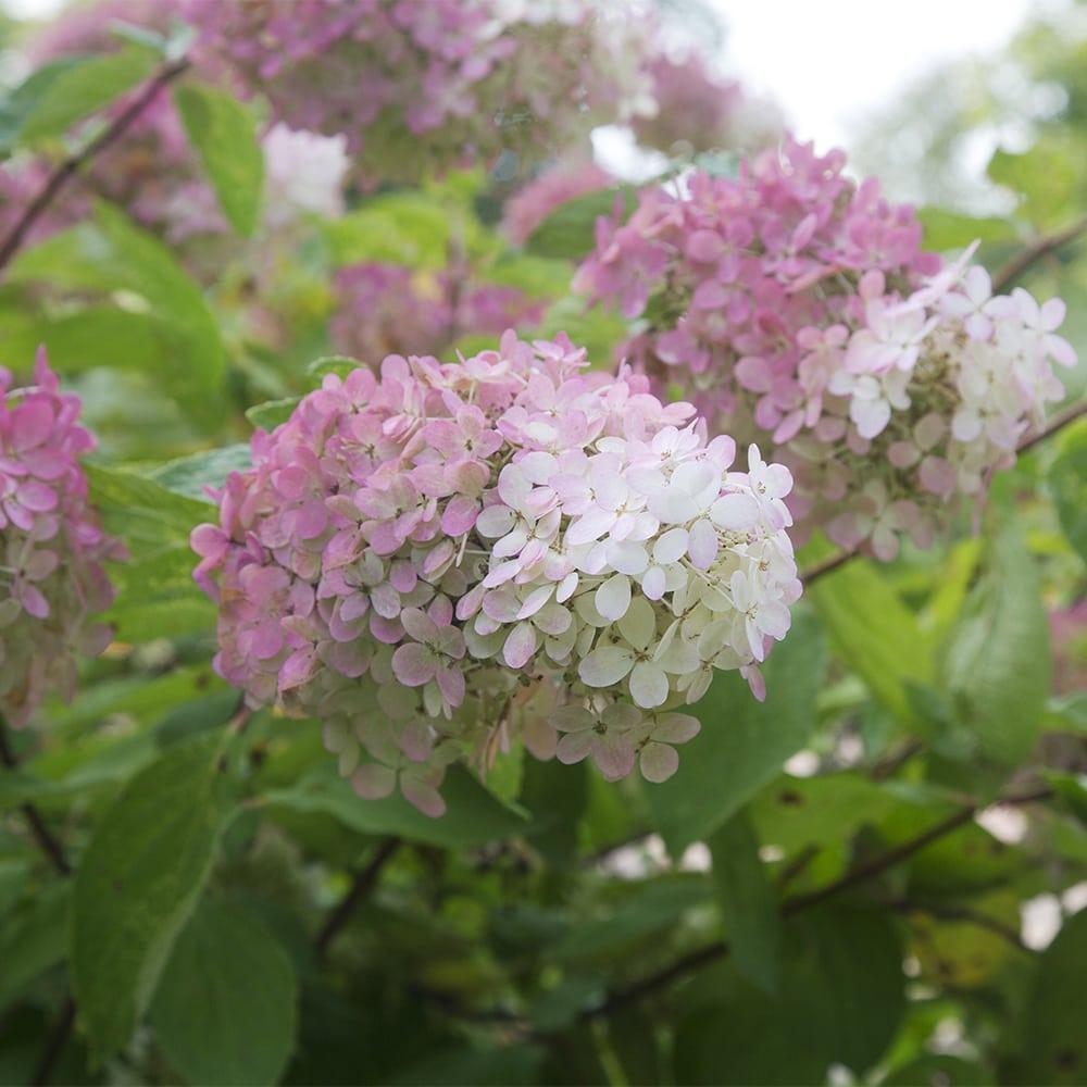 Syyshortensia_Hydrangea paniculata_Kekkilä