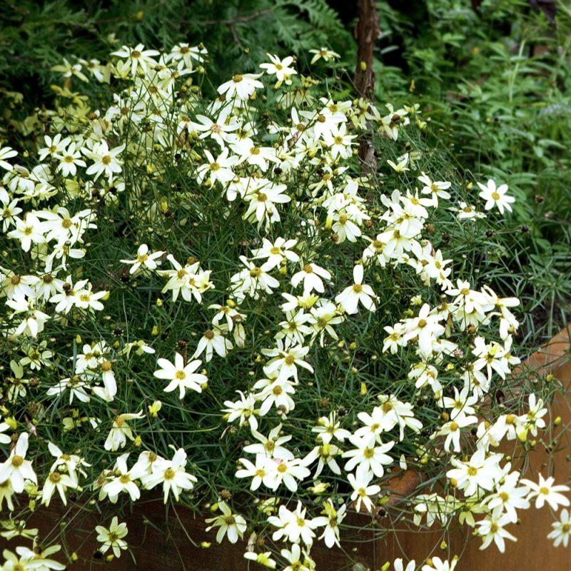 Syyskaunosilmän Coreopsis verticillata vaaleankeltaiset kukat