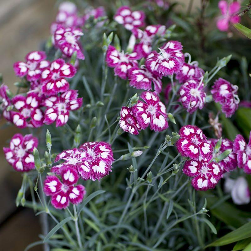 Tarhaneilikat Dianthus
