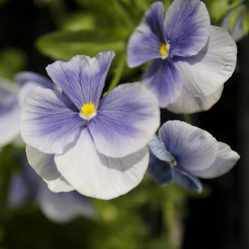Tarhaorvokki Viola