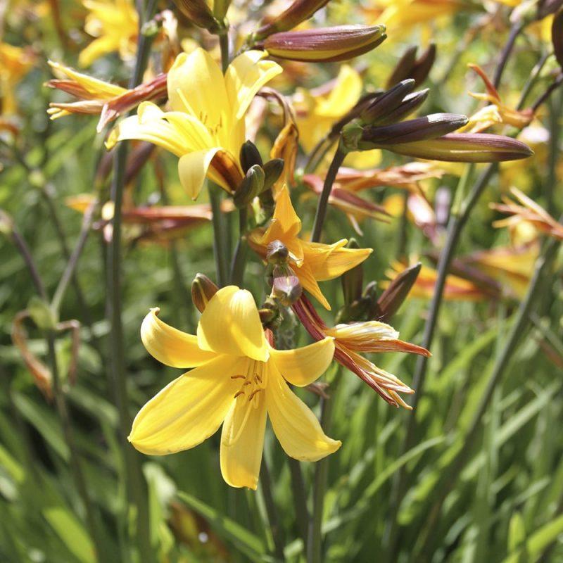 Tarhapäivänlilja Hemerocallis sp.