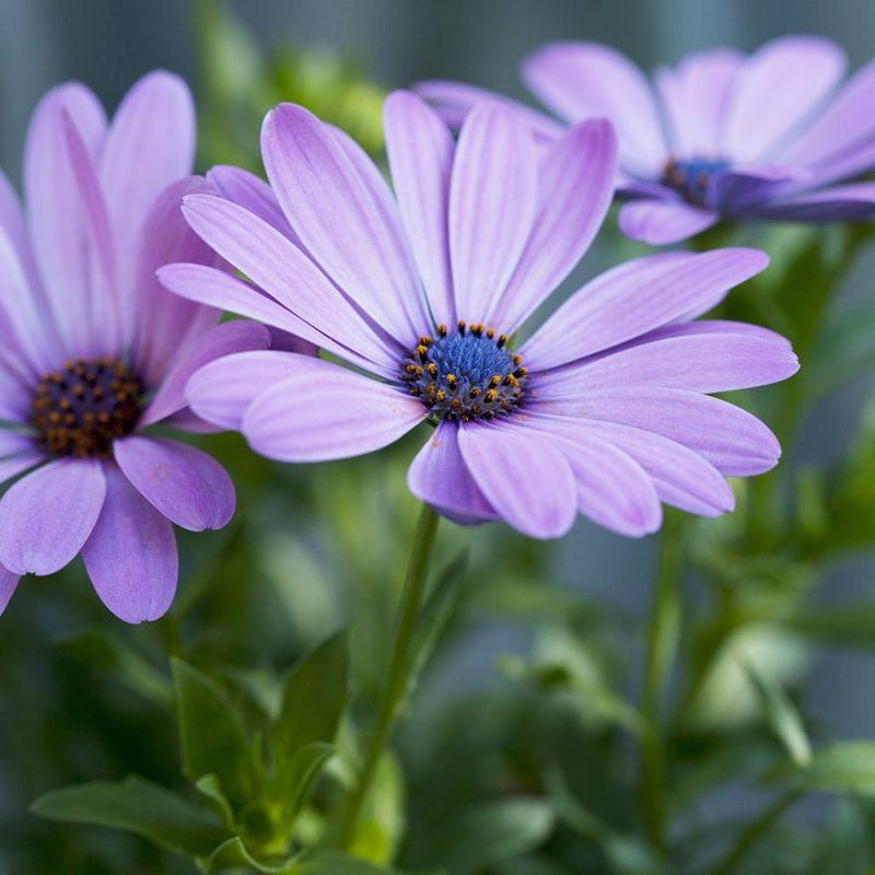 Tarhatähtisilmä Osteospermum Ecklonis-lajikkeet, lila