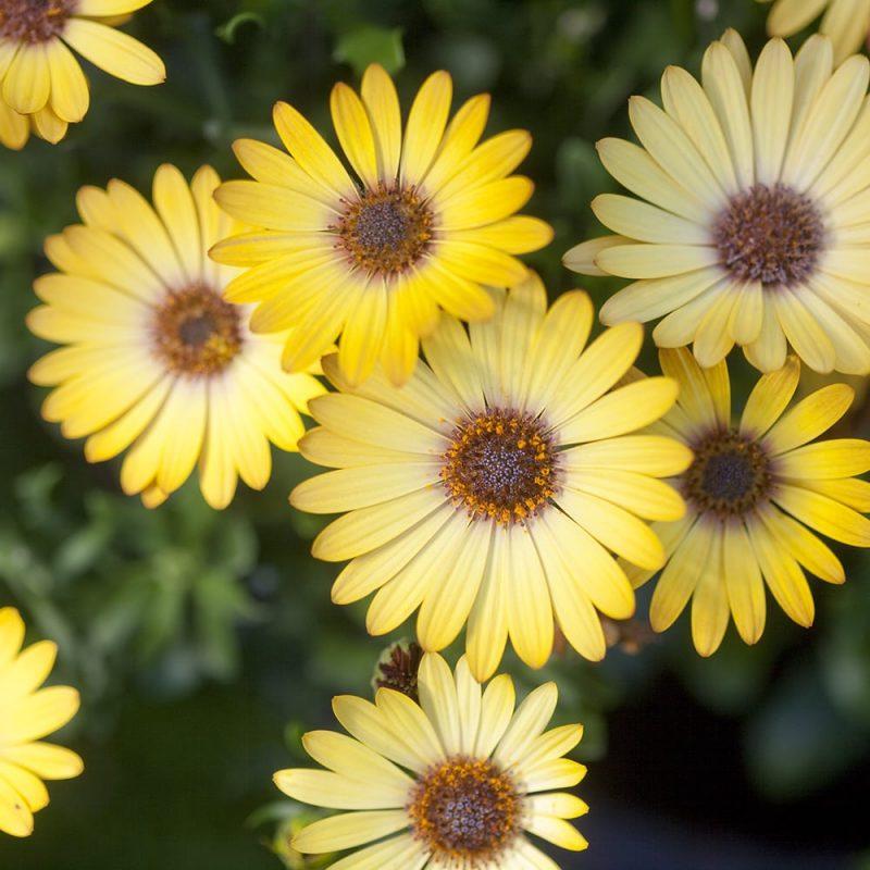 Tarhatähtisilmä Osteospermum Ecklonis-lajikkeet, keltainen