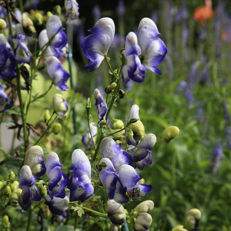 Tarhaukonhattu Aconitum x cammarum
