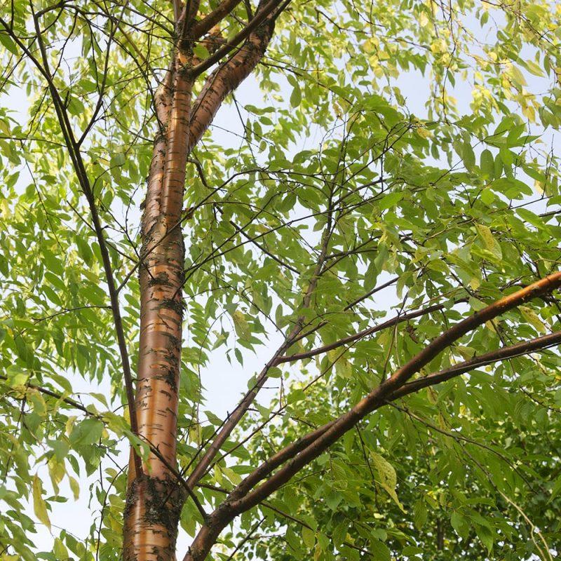 Tuohituomi Prunus maackii