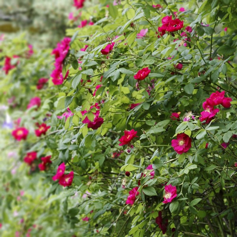 Valamonruusu Rosa 'Splendens'