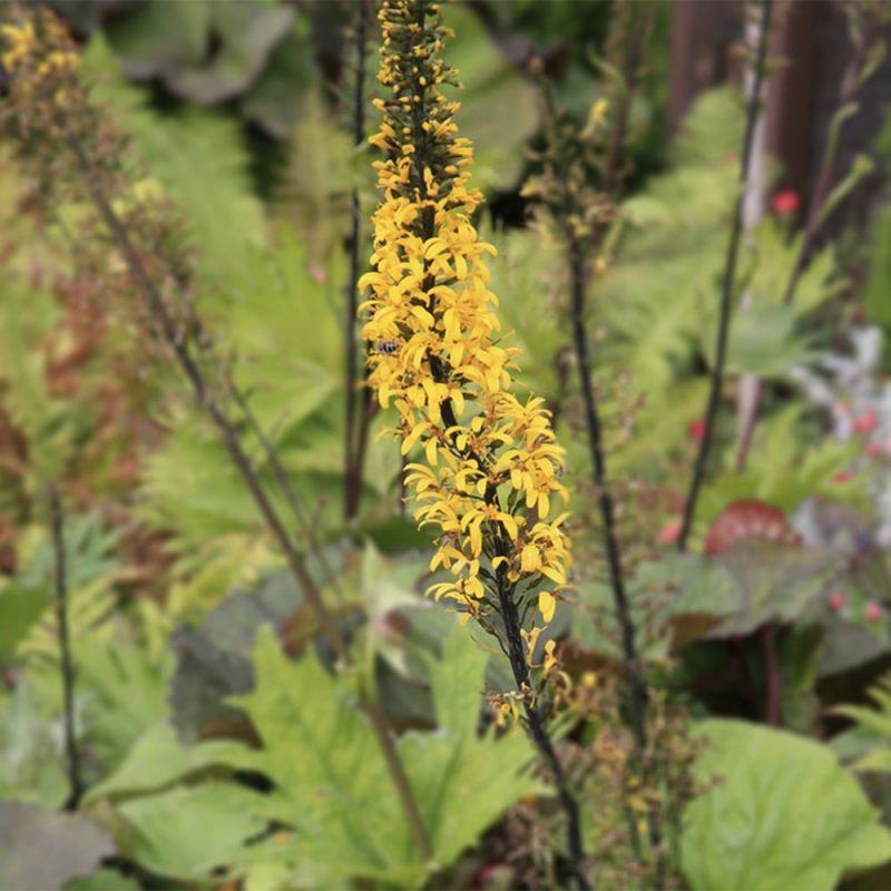 Valtikkanauhus Ligularia przewalskii kukka