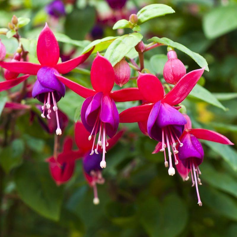 Verenpisaran Fuchsia sp. kukat