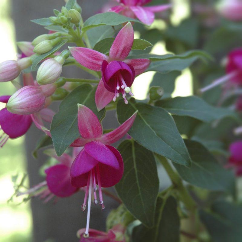 Verenpisaran Fuchsia sp. kukka