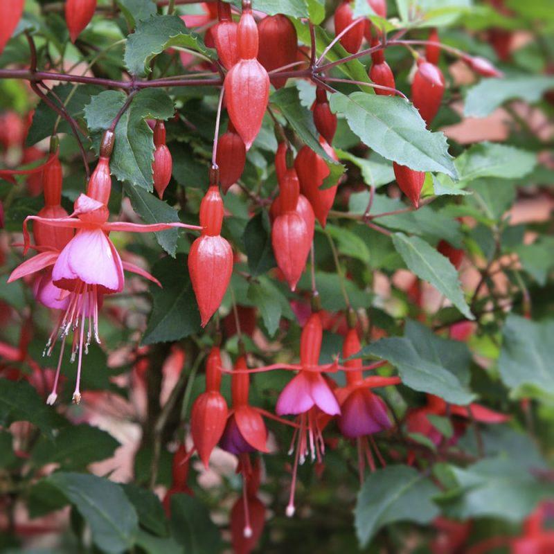 Verenpisara Fuchsia sp.
